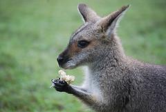 Kangoeroe linkshandig